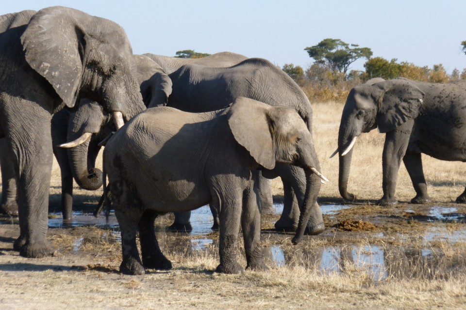 Hwange elephants  by Regina Hart