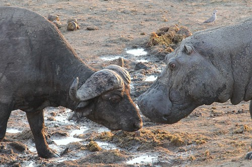 Hwange bufalo and hippo