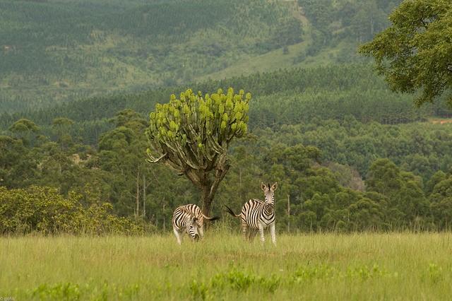 Mlilwane zebras  by guilherme jofili