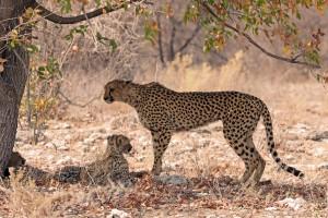 Etosha cheetah by simonsimages