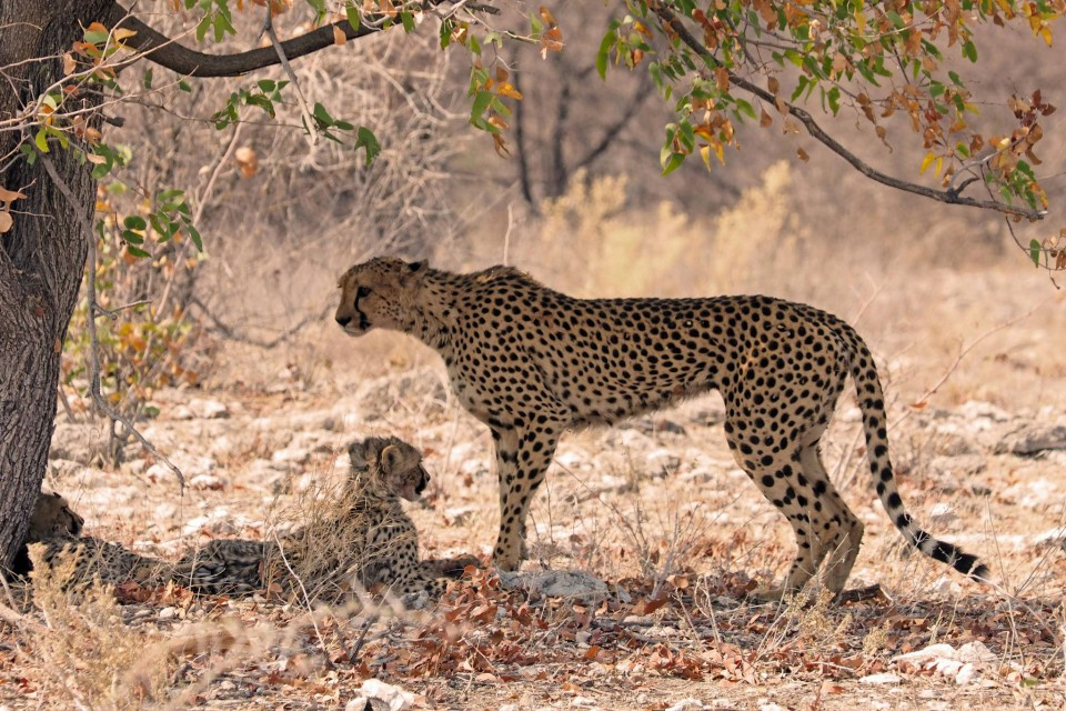 Cheetah in Etosha  by simonsimages