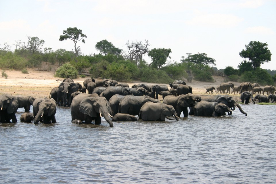 Chobe elephants  by i pinz