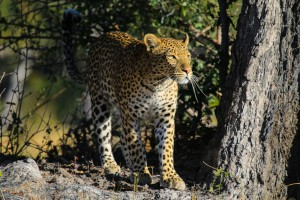 Moremi leopard by Chris Parker