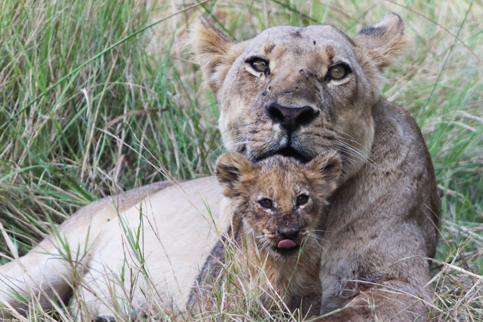Lion mother  cub