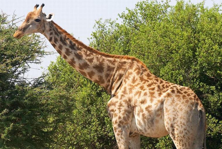 Moremi giraffe image