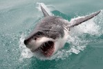 Great White Shark Diving & Whale Watching Tour