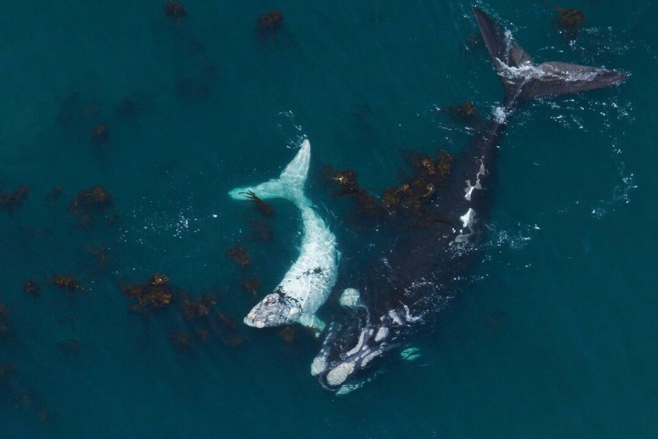 Whale & calf  by Wilfred Chivell