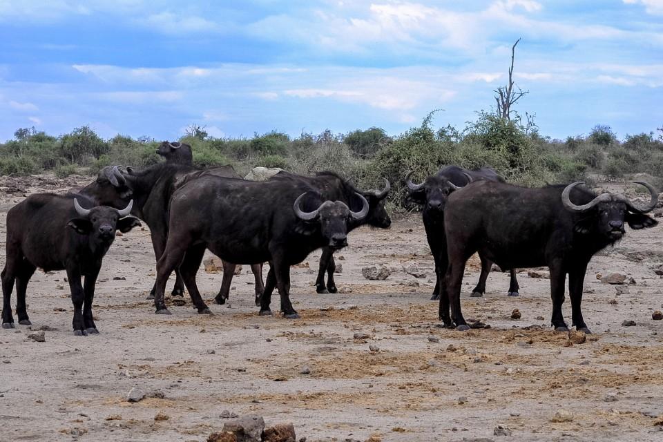 Buffalo herd in Chobe  by Letizia Barbi