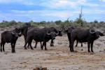 Buffalo herd in Chobe