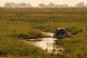 Chobe hippo by Josh Friedman