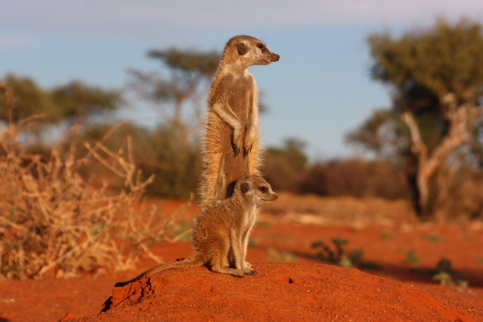 Kalahari meerkat and pup  by Charles Sharp