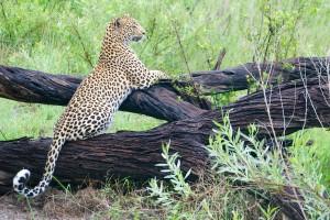 Delta leopard by Ryan Kilpatrick