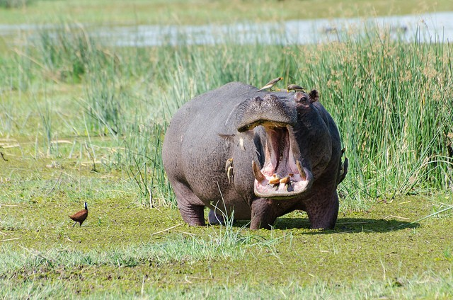 Hippo in Moremi  by Michael Jansen