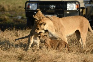 Lion and cubs in Savuti