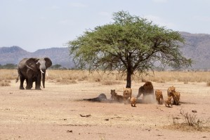 Tanzania elephant and lions