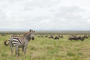 Tanzania zebra and wildebeest