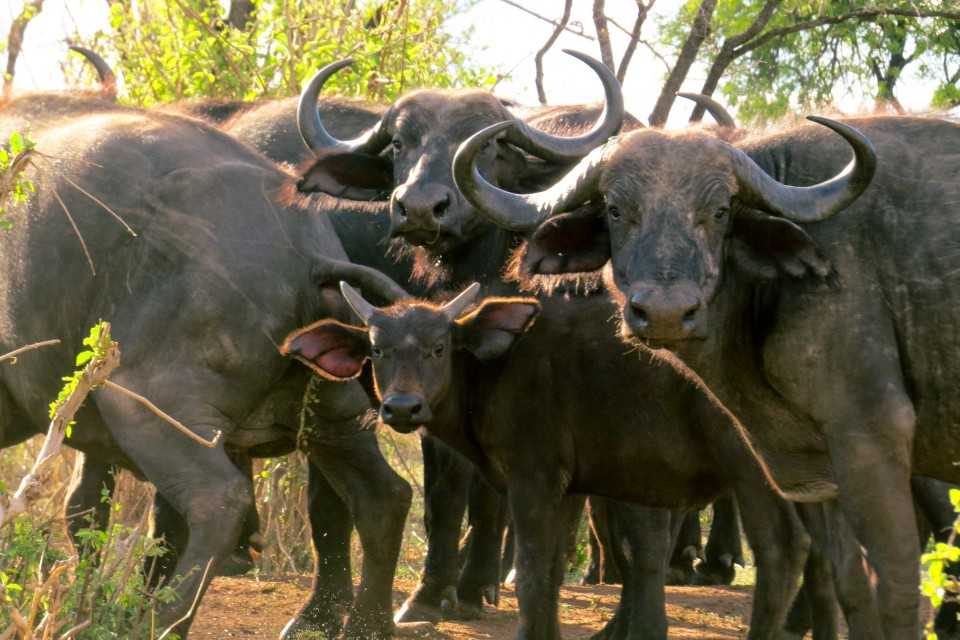 Ruaha buffalos  by Brian Harries