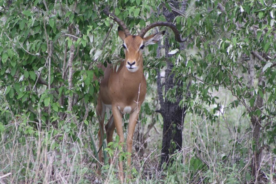 Selous antelope  by Francesca Gallina