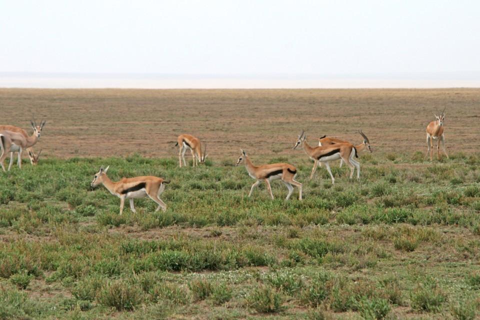 Tanzania antelopes