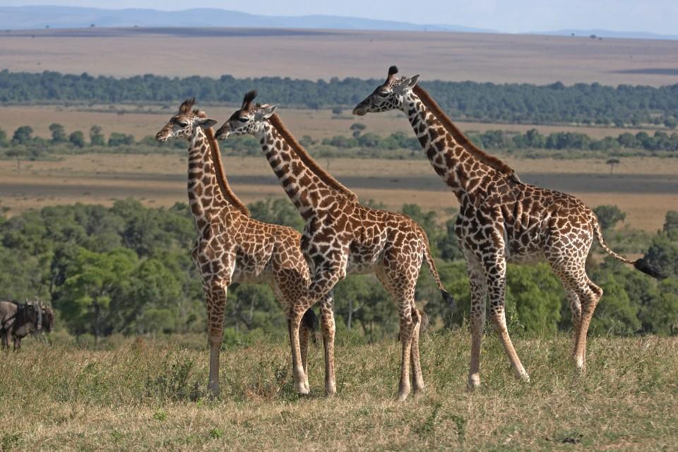Tanzania giraffes