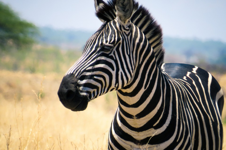 Zebra in Ruaha  by Brian Harries