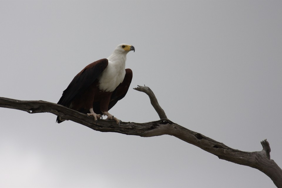 African fish eagle  by Dale LaFollette