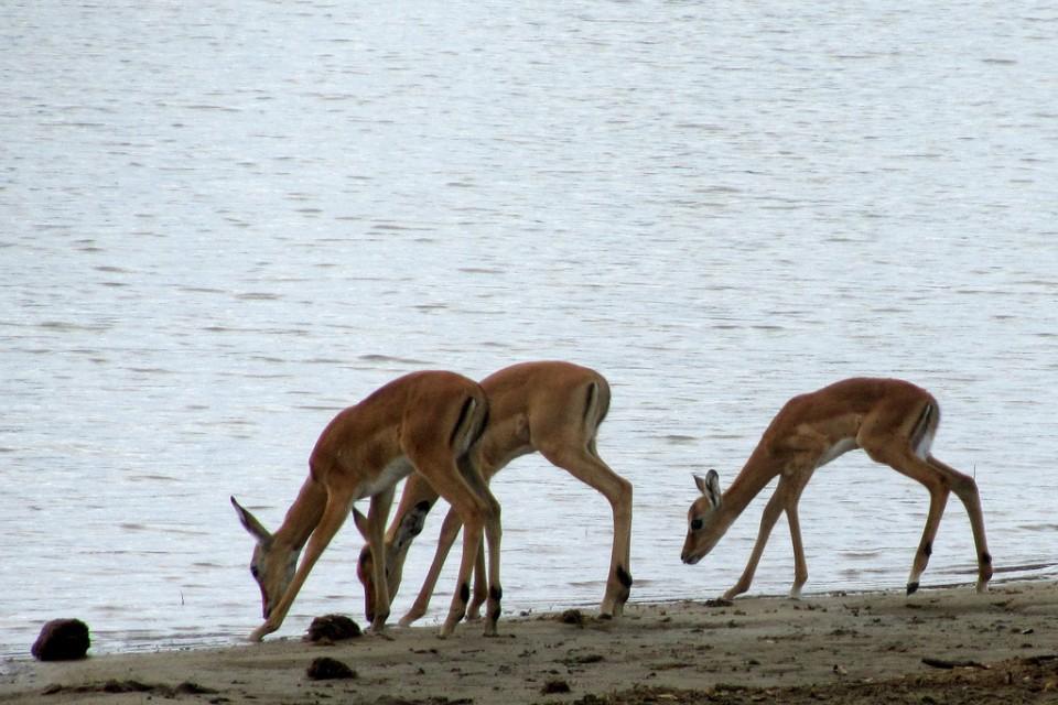 Selous antelopes  by Willem van der Horst