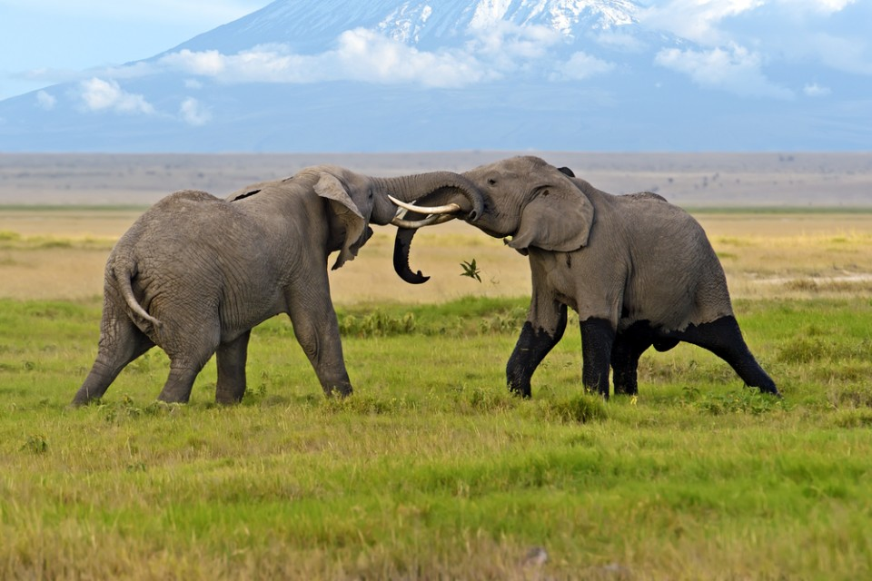 Elephant bulls battling it out in Amboseli National Park