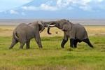 Elephant bulls battling it out in Amboseli National Park