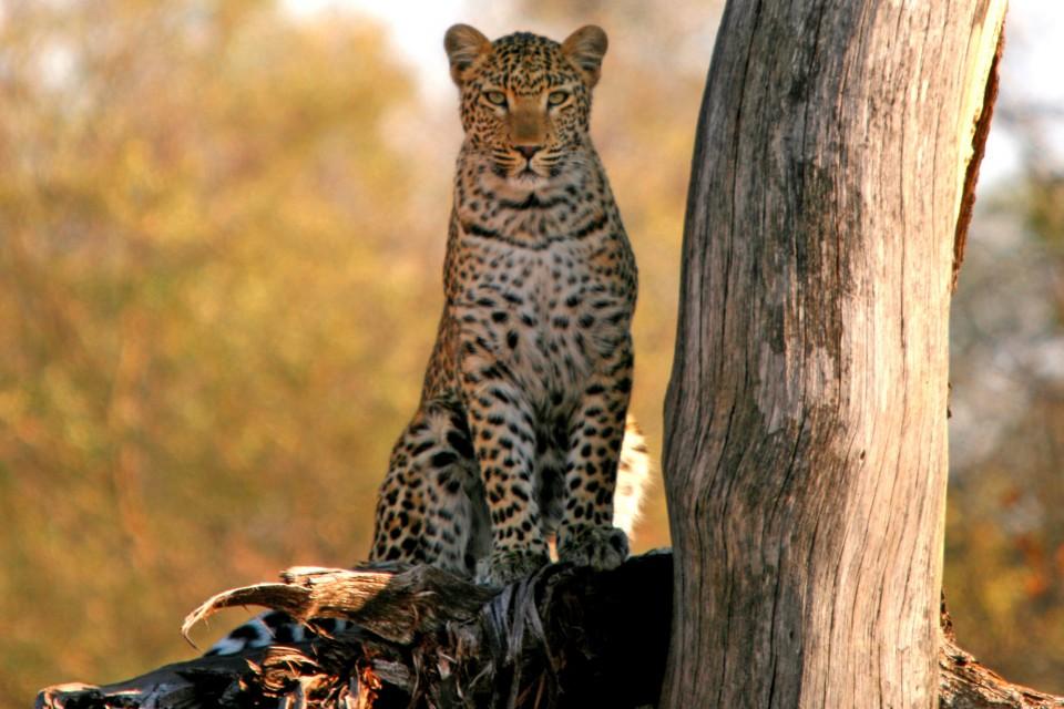 Leopard by tree