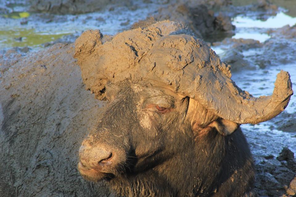 Muddy buffalo