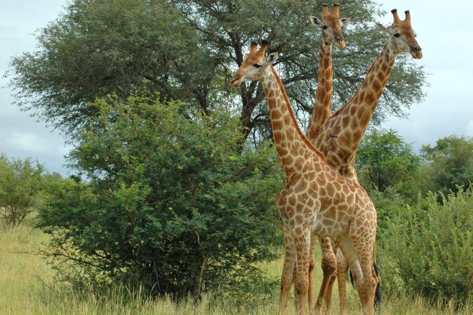 Giraffes bush