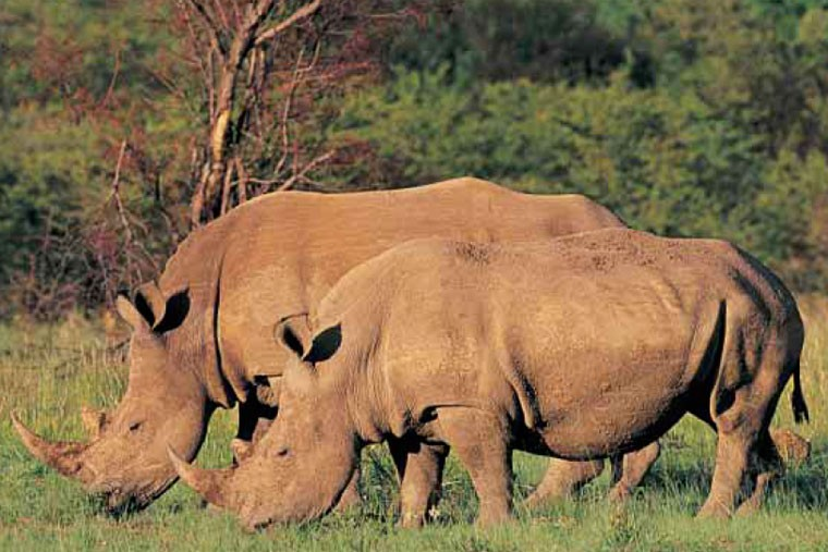 Rhinos on Safari in Kenya