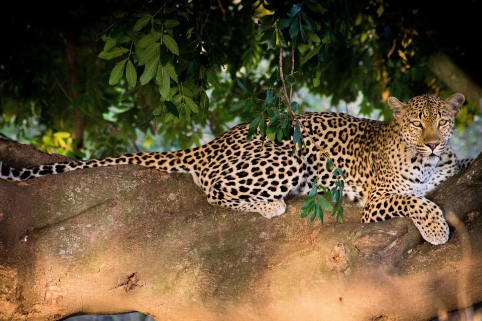 Sabi leopard tree