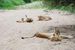Sabi lions