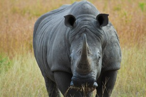 Sabi rhino by Grant Peters