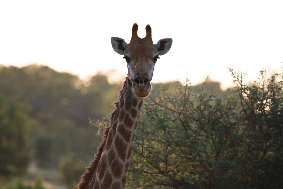 Sabi giraffe  by Grant Peters