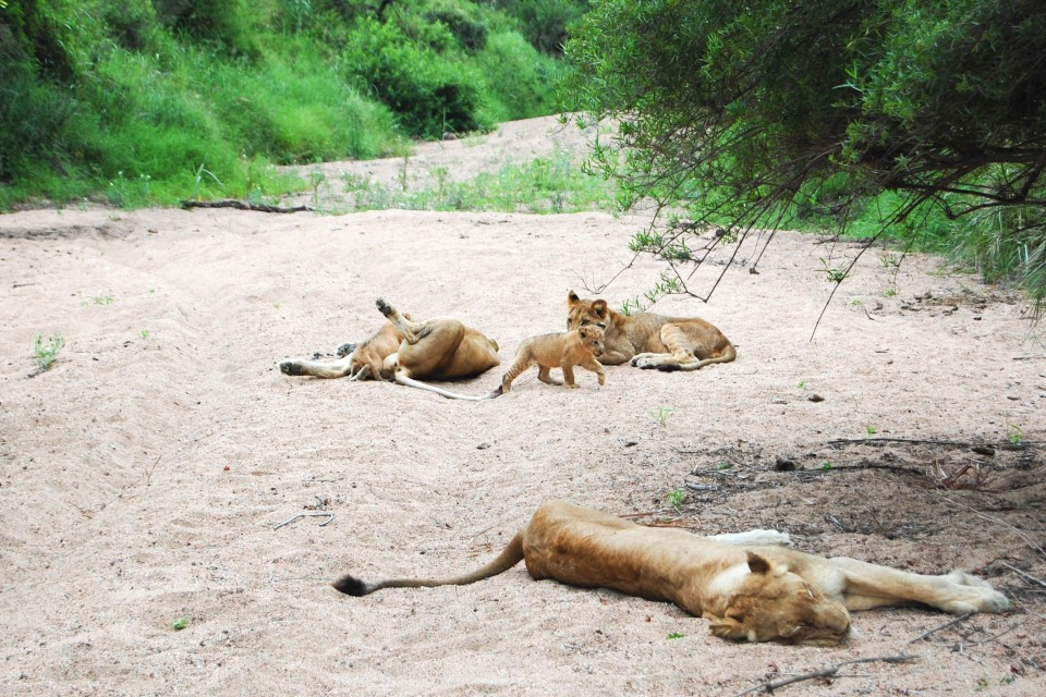 Sabi lions  by Jeremy T. Hetzel