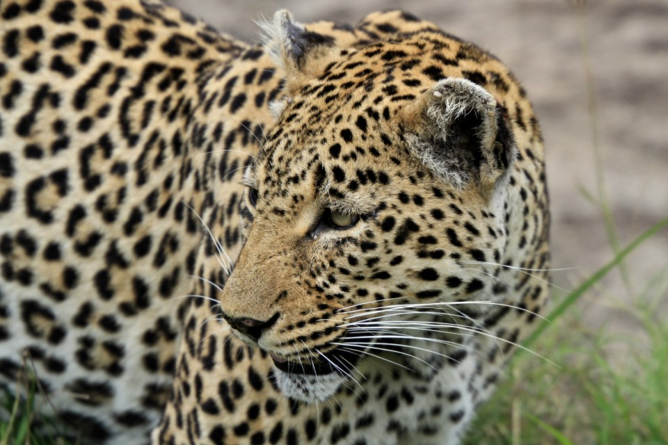 Big Five leopard  by s9-4pr