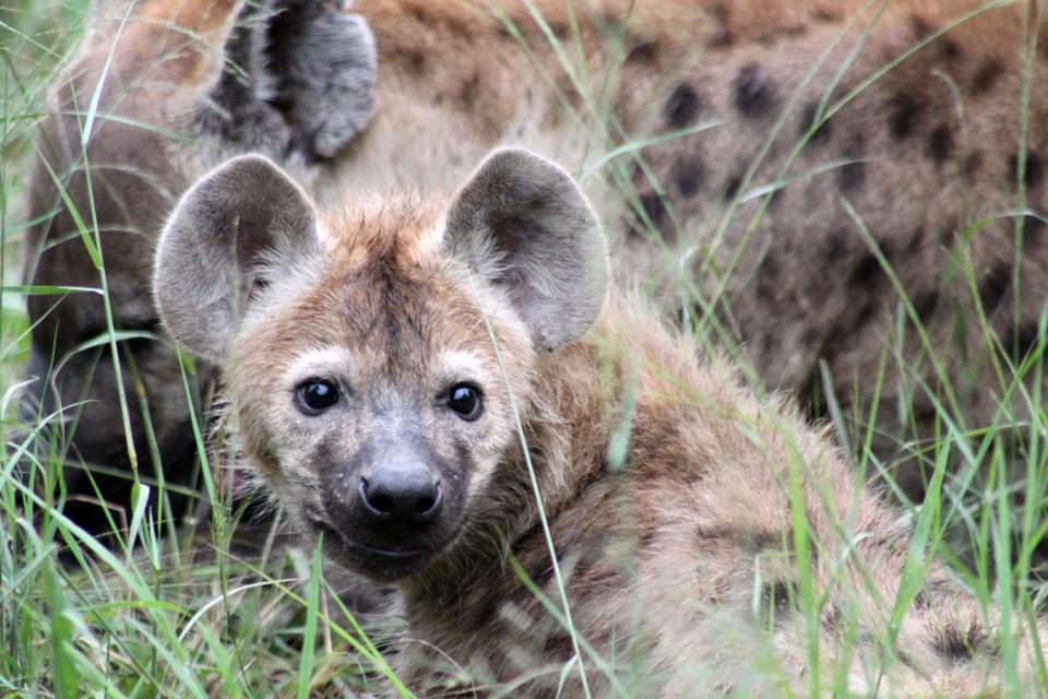 Sabi hyenas  by flowcomm
