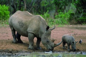 Rhino and calf in game park
