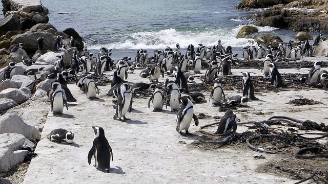 Stony Point penguins  by Werner Bayer