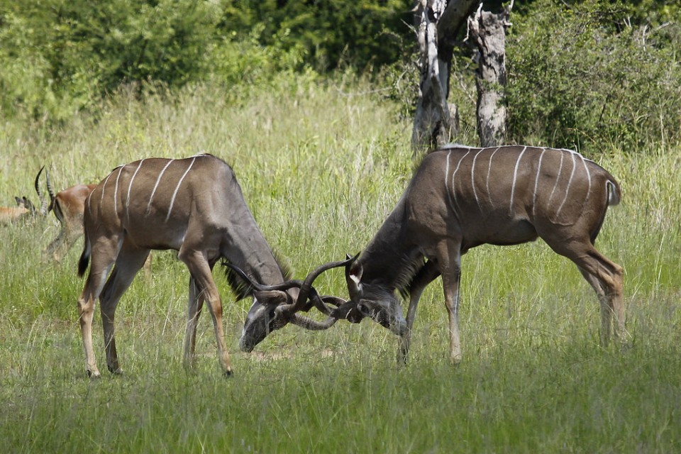 Greater kudu in Kruger  by Derek Keats