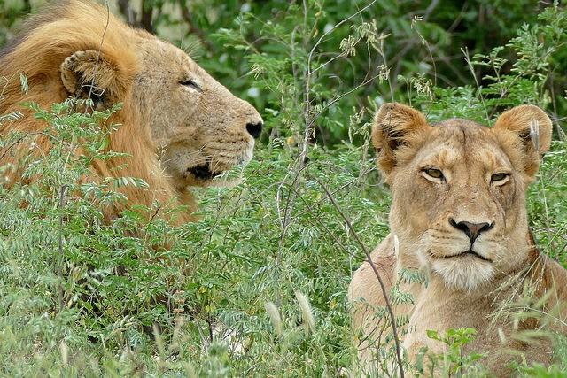 Kruger lions  by Bernard Dupont