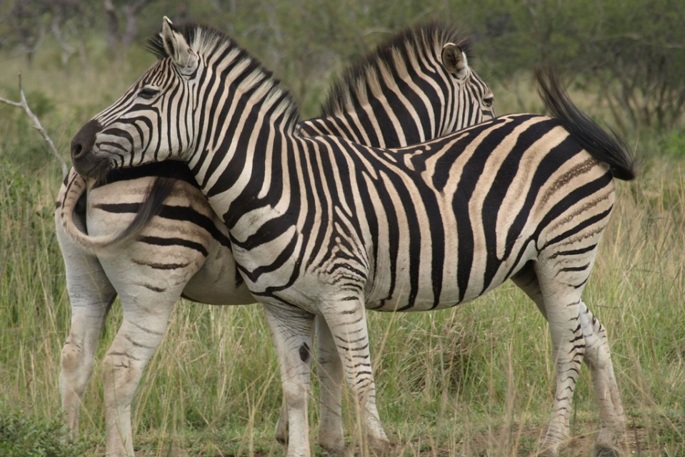 Hluhluwe zebras  by Craig Baerwaldt