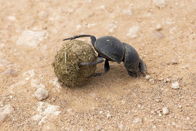 Addo flightless dung beetle