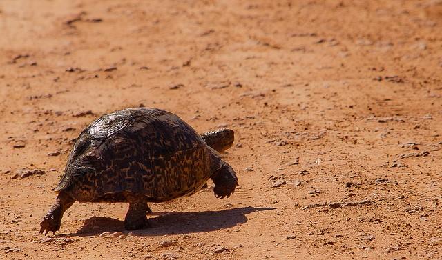 Addo tortoise  by Andi Gentsch