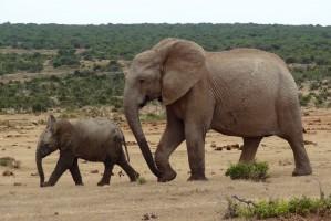 Addo elephants by Werner Bayer