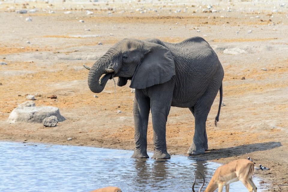Etosha Park elephant  by dconvertini