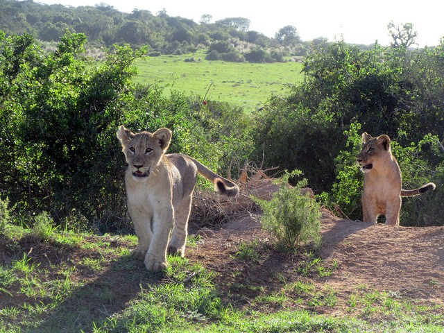 Addo lion cubs  by Mandy